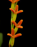 Physosiphon tubatus, total height of one flower is 1cm