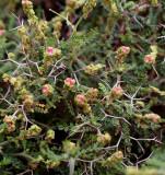 Sarcopoterium spinosum, Phrychana begroeing Kreta