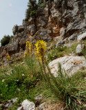Asphodeline lutea, Liliaceae reuzen beenbreek  kreta