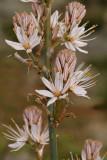 Asphodulus aestivus, Liliaceae