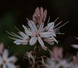 Asphodelus aestivus, Liliaceae