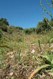 Gladiolus italicus, wilde gladiool, Kreta