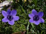 Anemone coronaria, purple