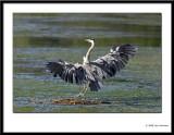 Grey Heron 2008