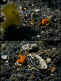 The incredible adventures of the smallest frogfish in the world