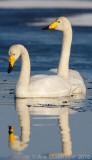 Whooper Swan - Wilde-Zwaan - Cygnus cygnus