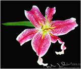 lilly on blackl.jpg