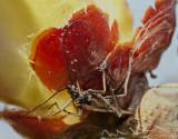 chestnut-bug.jpg