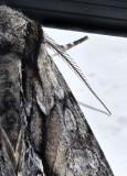 moth shoulder.jpg