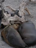 DSCN6529_Galapagos Sea Lions and Marine Iguanas.JPG