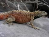 DSCN5854_Lava Lizard_male_Espanola Isl.JPG