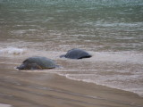 DSCN6018_Green Sea Turtles.JPG