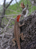 DSCN6033_Lava Lizard_female_Floreana Isl.JPG