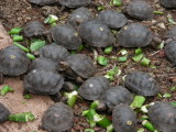 DSCN6079_young tortoises at Charles Darwin Research Station.JPG