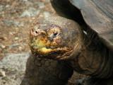 DSCN6085_Galapagos Tortoise close-up.JPG