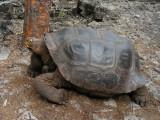 DSCN6087_Galapagos Tortoise.JPG