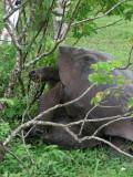DSCN6142_mating Galapagos Tortoises.JPG