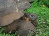 DSCN6156_Galapagos Tortoise.JPG