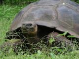 DSCN6177_Galapagos Tortoise.JPG