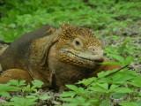 DSCN6381_Land Iguana.JPG