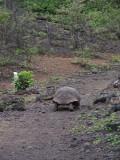 DSCN6388_Galapagos Tortoise.JPG