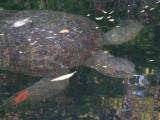 DSCN6835_Green Sea Turtle.JPG
