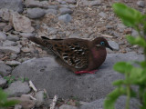 DSCN5839_Galapagos Dove.JPG