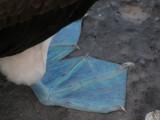 DSCN5902_Blue-footed Booby feet.JPG