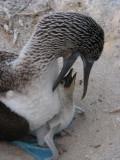 DSCN5928_Blue-footed Booby feeding chick.JPG