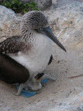 DSCN5930_Blue-footed Booby with chick.JPG