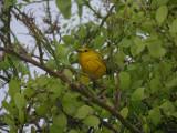 DSCN6057_Yellow Warbler.JPG