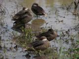 DSCN6151_White-cheeked Pintail ducks.JPG