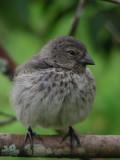DSCN6176_Small Ground-Finch.JPG