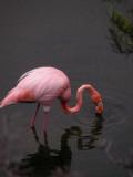 DSCN6240_Greater Flamingo.JPG