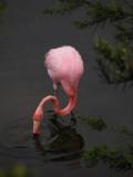 DSCN6246_Greater Flamingo.JPG