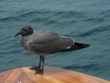 DSCN6425_Lava Gull.JPG