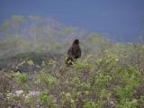 DSCN6500_Galapagos Hawk.JPG