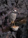 DSCN6644_Yellow-crowned Night Heron.JPG