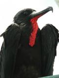 DSCN6736_Magnificent Frigatebird.JPG