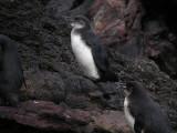 DSCN6765_Galapagos Penguins.JPG
