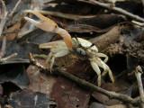 DSCN5981_Fiddler Crab.JPG