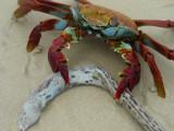 DSCN6007_Sally Lightfoot Crab with Galapagos Snake-Eel.JPG