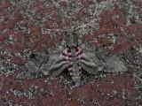 DSCN6069_Moth.JPG