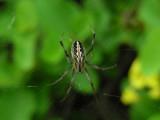 DSCN6350_Zig-Zag Spider.JPG