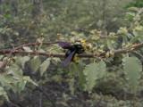 DSCN6370_Galapagos Carpenter Bee on Waltheria.JPG