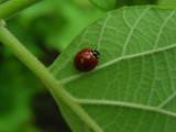 DSCN6402_Spotless Ladybug beetle.JPG
