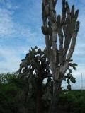 DSCN6074_Candelabra and Giant Prickly Pear cactuses.JPG