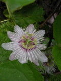 DSCN6076_Galapagos Passion Flower.JPG