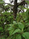 DSCN6192_Tree Scalesia.JPG