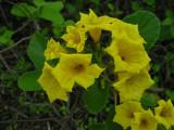 DSCN6367_Yellow Cordia_flower.JPG